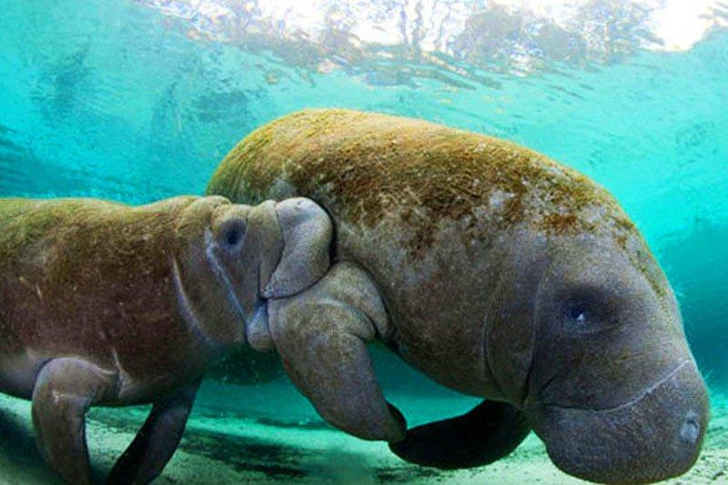 Cute baby dugong